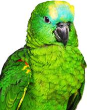 Parrot sex query--Parrot sex identification, PBFD test, APV test